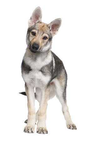 Czechoslovakian Wolfdog puppy (3 months) in front of a white background