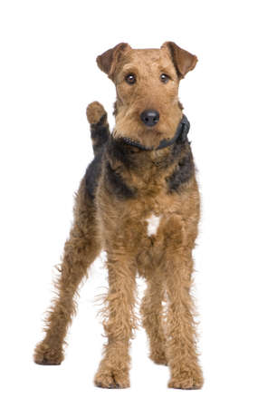 Airedale Terrier (2 years) in front of a white background photo