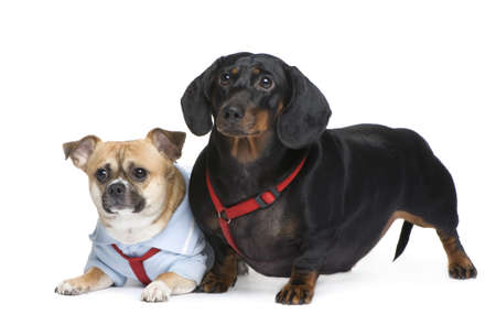 couple of a Dachshund and a crossbreed in front of a white background photo