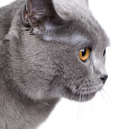 18: Chartreux (18 months) in front of a white background