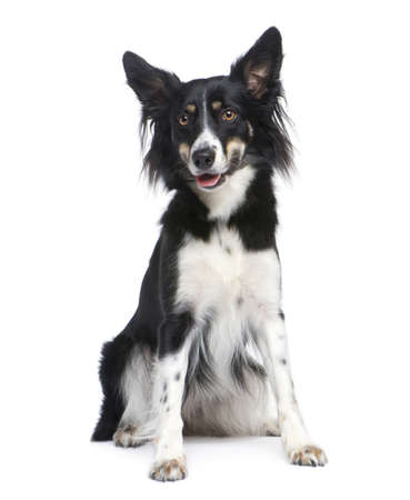 18: Border Collie Breed (18 months) in front of a white background