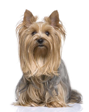 yorkshire terrier: Yorkshire Terrier (5 years) in front of a white background Stock Photo