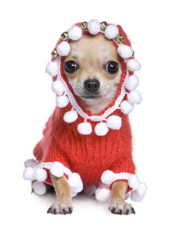 lap dog: chihuahua dressed as father crhistmas in front of a white background