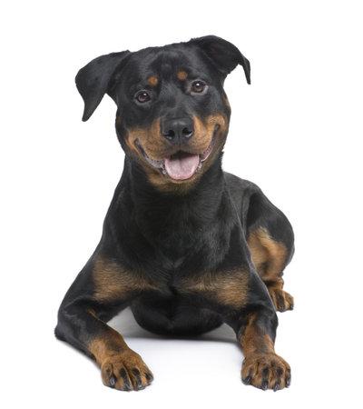 bajo y fornido: rottweiler (8 meses) delante de un fondo blanco Foto de archivo