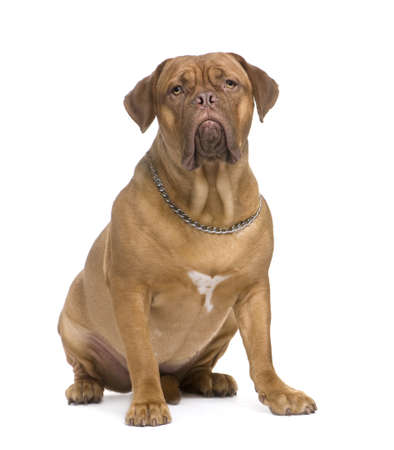 stitting: Dogue de Bordeaux (1.5 years) in front of a white background