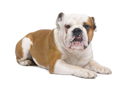 stitting: english Bulldog (1 year) in front of a white background