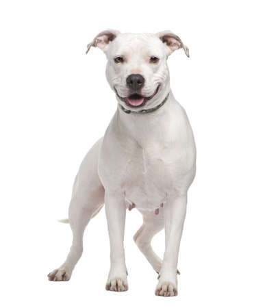 american staffordshire terrier: American Staffordshire terrier (4 years) in front of a white background Stock Photo