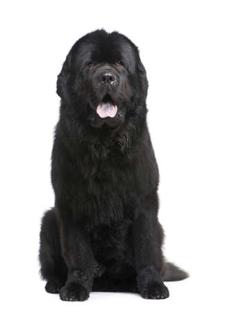 black and white newfoundland dog: Newfoundland (3.5 years) in front of white background