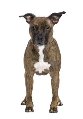 gardian: American Staffordshire terrier (8 years) in front of a white background Stock Photo