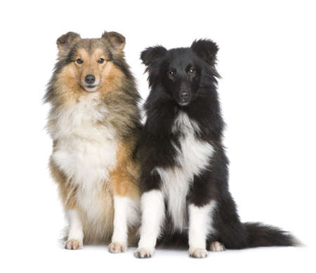 couple of shelties sitting in front of white background photo