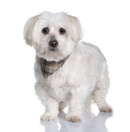 maltese dog (13 years) in front of A white background photo