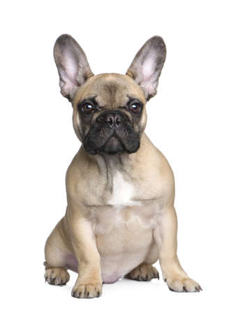bull dog: french Bulldog in front of a white background