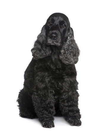 spaniel: Cocker Spaniel (9 years) in front of a white background