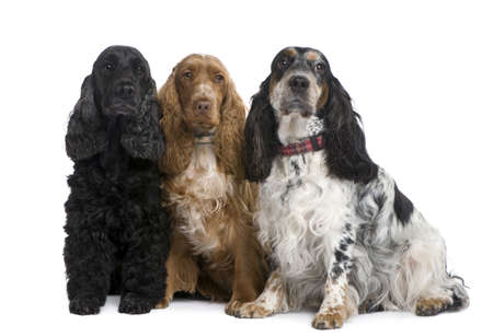 group of three Cocker Spaniels in front of a white background Stock Photo - 4064695