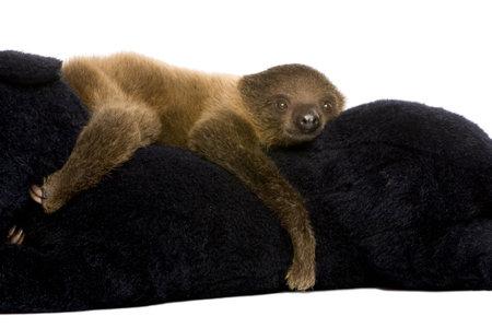 sloth: beb� perezoso de dos dedos (4 meses) - Choloepus didactylus delante de un fondo blanco
