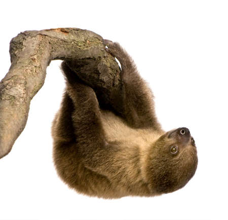 laziness: baby Two-toed sloth (4 months) - Choloepus didactylus in front of a white background Stock Photo