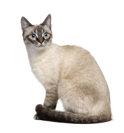 moggi: Crossbreed between a siamese and a tabby (9 months) in front of a white background Stock Photo