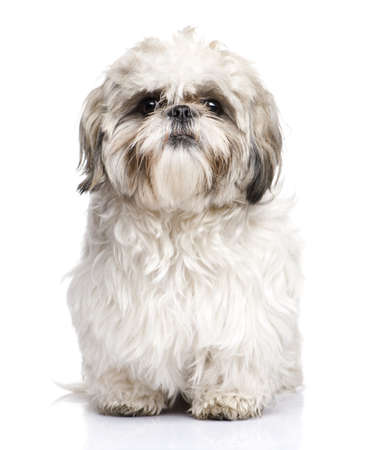 shih tzu: Shih Tzu (1 year) in front of a white background
