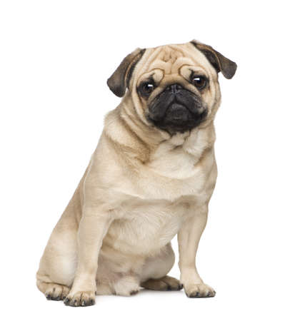 wrinkely: Pug ( years) in front of a white background