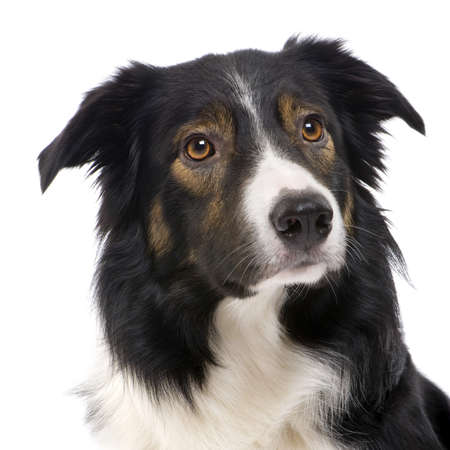 macro animals: Border Collie Breed (2,5 years) in front of a white background Stock Photo
