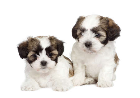 weeks: puppy mixed-Breed Dog between Shih Tzu and maltese dog (7 weeks) in front of a white background