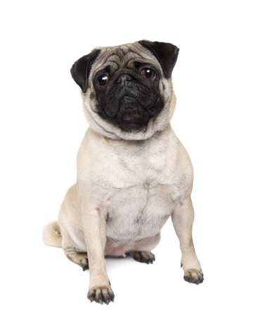 carlin: Pug (4 years) in front of a white background