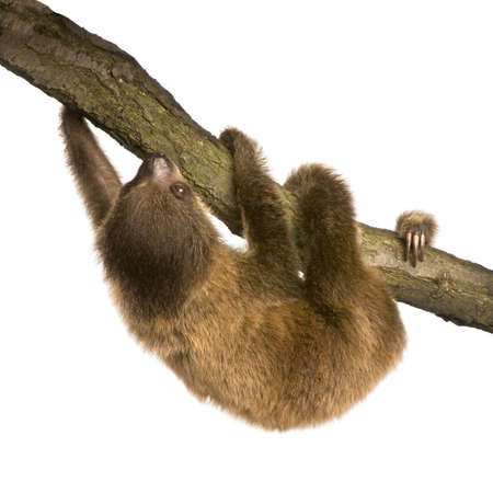 sloth: beb� Choloepus (4 meses) - Choloepus didactylus delante de un fondo blanco