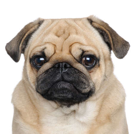 Pug ( years) in front of a white background
