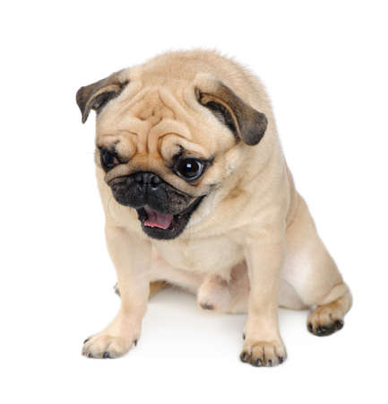surprised dog: Pug ( years) in front of a white background