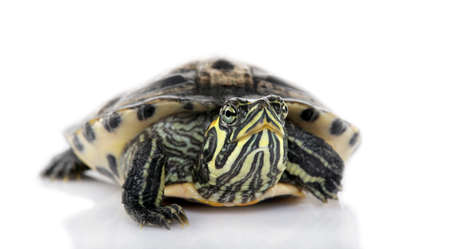 tardy: Turtle facing the camera turtle in front of a white backgroung Stock Photo