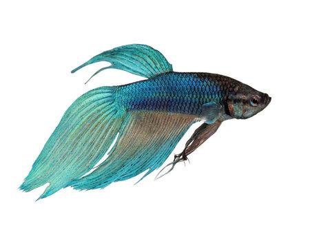 파란 샴 싸우는 물고기 - Betta Splendens 흰색 배경 앞에
