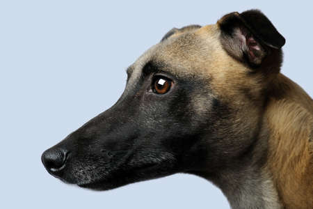Whippet (1 year) in front of a grey background photo