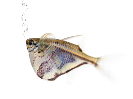 Common hatchetfish - Gasteropelecus sternicla in front of a white background Stock Photo - 4096680