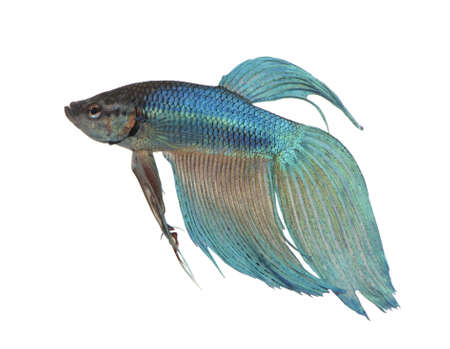 blue siamese: blue Siamese fighting fish  - Betta Splendens in front of a white background Stock Photo