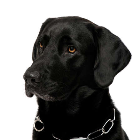black labrador: close-up of a black Labrador in front of a white background
