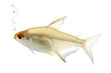 submersion: Hyphessobrycon bentosi fish in front of a white background