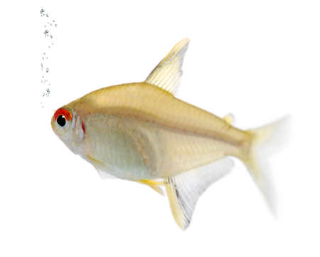 Hyphessobrycon bentosi fish in front of a white background photo