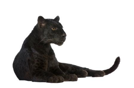 panthera: Black Leopard (6 anni) di fronte a uno sfondo bianco