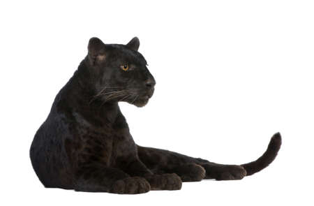 black and white panther: Black Leopard (6 years) in front of a white background