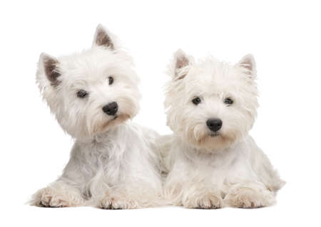 highlands: West Highland White Terrier in front of a white background