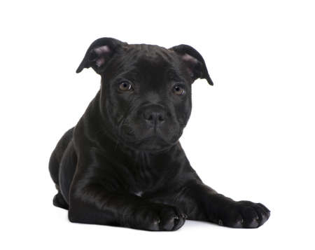 puppy Staffordshire Bull Terrier (2 months) in front of a white background photo