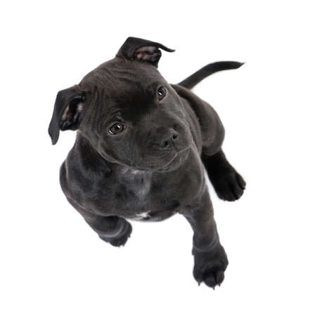 black and white pit bull: Staffordshire Bull Terrier puppy (2 months) in front of a white background Stock Photo