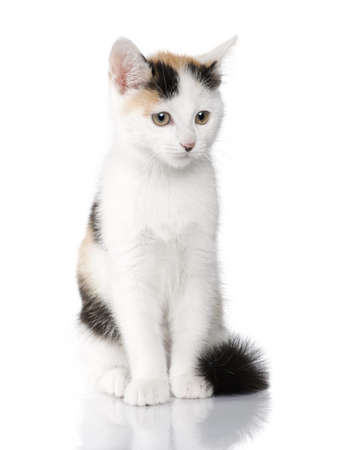 kitten European Shorthair cat (2 months) in front of a white background photo