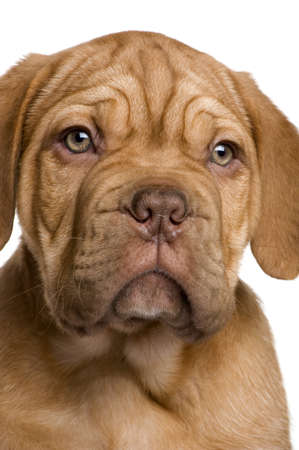 Dogue de Bordeaux puppy (2 months) in front of a white background photo