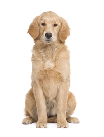 facing on the camera: Golden Retriever puppy (5 months) facing the camera  in front of a white background Stock Photo
