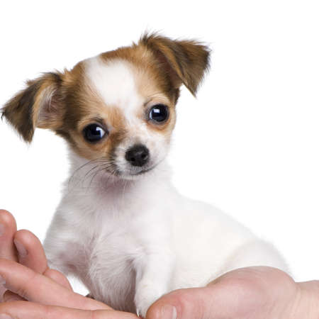 chihuahua puppy in a hand (3 months) in front of a white background Stock Photo