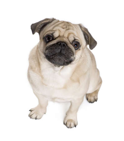 wrinkely: Pug (3 years) in front of a white background  Stock Photo