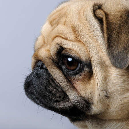 carlin: close-up on a profile of a pug (3 years) in front of a grey background