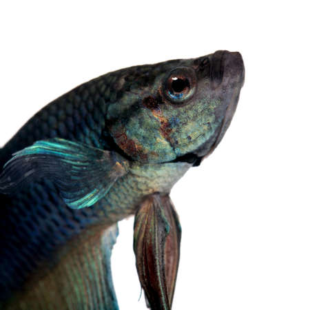 fresh water aquarium fish: blue Siamese fighting fish  - Betta Splendens in front of a white background Stock Photo
