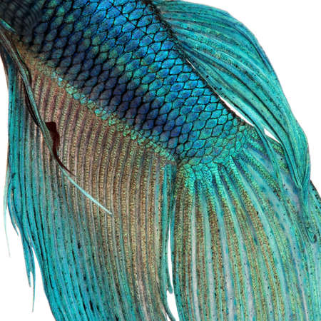 betta: Close-up on a fish skin - blue Siamese fighting fish - Betta Splendens in front of a white background